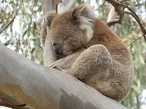 Koala napping in a Eucalyptus in You Yangs Regional Park, Australia Royalty Free Stock Images