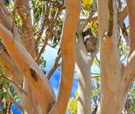 Koala Napping Royalty Free Stock Images