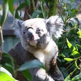 Koala nel parco selvaggio di vita a Brisbane fotografia stock