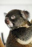 Koala nel Queensland Fotografia Stock