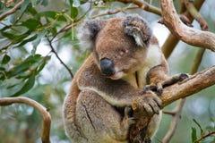 Koala nel selvaggio immagini stock libere da diritti