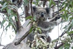 Koala nell'albero di eucalyptus Immagine Stock