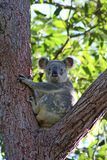 Koala nell'albero di eucalyptus, Australia Immagini Stock