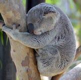 Koala niedźwiedź Zdjęcie Stock