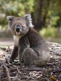 Koala niedźwiedź Na Lasowej podłoga Zdjęcia Royalty Free