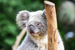 Koala niedźwiedź w koala parka sanktuarium Obrazy Stock