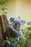 Koala niedźwiedź w lesie Zdjęcie Royalty Free