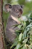koala niedźwiedzi Zdjęcie Stock