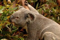 koala niedźwiedzi Fotografia Royalty Free