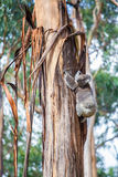 Koala niedźwiedzia wspinaczkowy up drzewo w Australia Fotografia Royalty Free