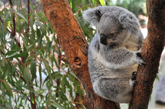 Koala novo foto de stock royalty free