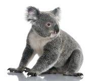 Koala novo, cinereus do Phascolarctos, 14 meses foto de stock