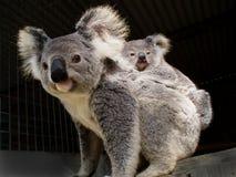 Koala och känguruunge Arkivbilder