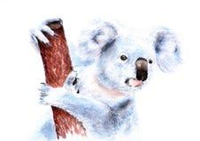 Free Koala On The Tree Royalty Free Stock Photography - 109688837