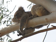 Koala in onze binnenplaats in Gumtree royalty-vrije stock fotografie