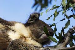 Koala op de Eucalyptusboom Stock Fotografie