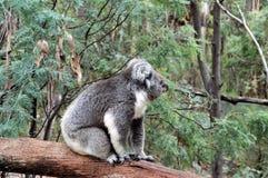 Koala op een logboek Stock Afbeelding