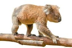 Koala op tak stock foto