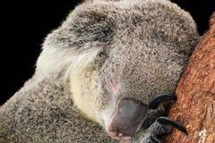 Koala op zwarte achtergrond wordt geïsoleerd die royalty-vrije stock foto