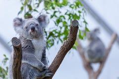 Koala på en trädfilial Fotografering för Bildbyråer