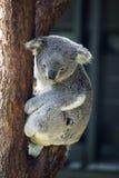 Koala på ett träd Arkivfoto