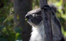 Koala på Phillip Island Nature Park arkivbilder