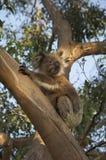 Koala på träd på solnedgången Arkivfoton