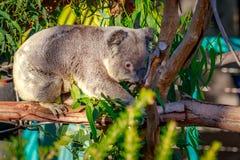 Koala på trädfilial Arkivfoto