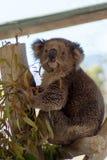 Koala på zoo Gan Guru i Israel Arkivbilder