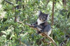 Koala på en treestam Arkivbild