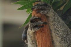 Koala Paws Stock Photography