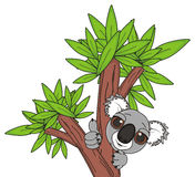 Koala peek up from trunk. Muzzle of funny koala with gesture class stick out from brown trunk of tree Stock Photography