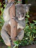 Koala Perched on Pole. Koala bear hanging from tree trunk in Australia Royalty Free Stock Photo
