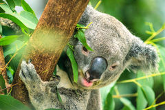 Koala perched on a tree and eat Stock Photography