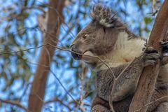 Koala perched in tree looking back and down stock images