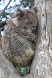Koala (Phascolarctos cinereus) Stockbild