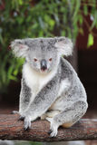 Koala (Phascolarctos-cinereus) Stock Afbeelding