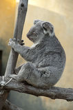 Koala - Phascolarctos cinereus Stock Photography