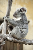 Koala - Phascolarctos cinereus Royalty Free Stock Photos