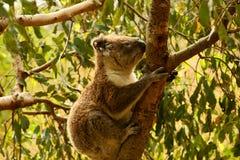 Koala. (Phascolarctos cinereus)climbing a tree in Tower Hill Koroit, Vic Royalty Free Stock Image