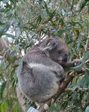 Koala Royalty Free Stock Images