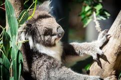 Koala in a eucalyptus tree in the Yarra Valley in Australia stock images