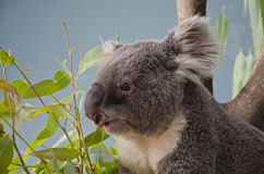 Koala. The koala Phascolarctos cinereus, or, Inaccurately, Koala Bear Royalty Free Stock Image