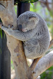 The koala. Phascolarctos cinereus, or, inaccurately, koala bear is an arboreal herbivorous marsupial native to Australia stock image