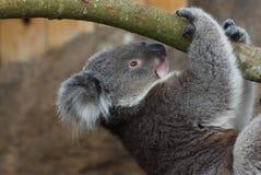 Koala Phascolarctos cinereus / portrait royalty free stock photo