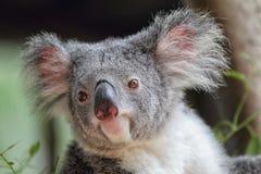 Koala (Phascolarctos cinereus) Royalty Free Stock Image