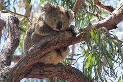 Koala (Phascolarctos cinereus) Royalty Free Stock Photos