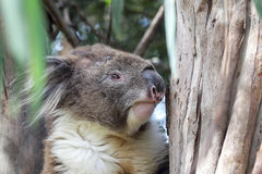 Koala (Phascolarctos cinereus). Sitting in an eukalyptus tree in Kennett River at the Great Ocean Road, Victoria, Australia Royalty Free Stock Images
