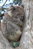 Koala (Phascolarctos cinereus). Sitting in an eukalyptus tree in Kennett River at the Great Ocean Road, Victoria, Australia Stock Image