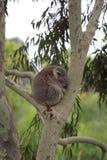 Koala (Phascolarctos cinereus) Royalty Free Stock Images